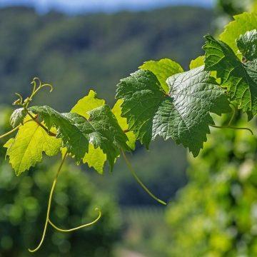 Coldiretti: le vendite di vino all'estero in calo del 4%