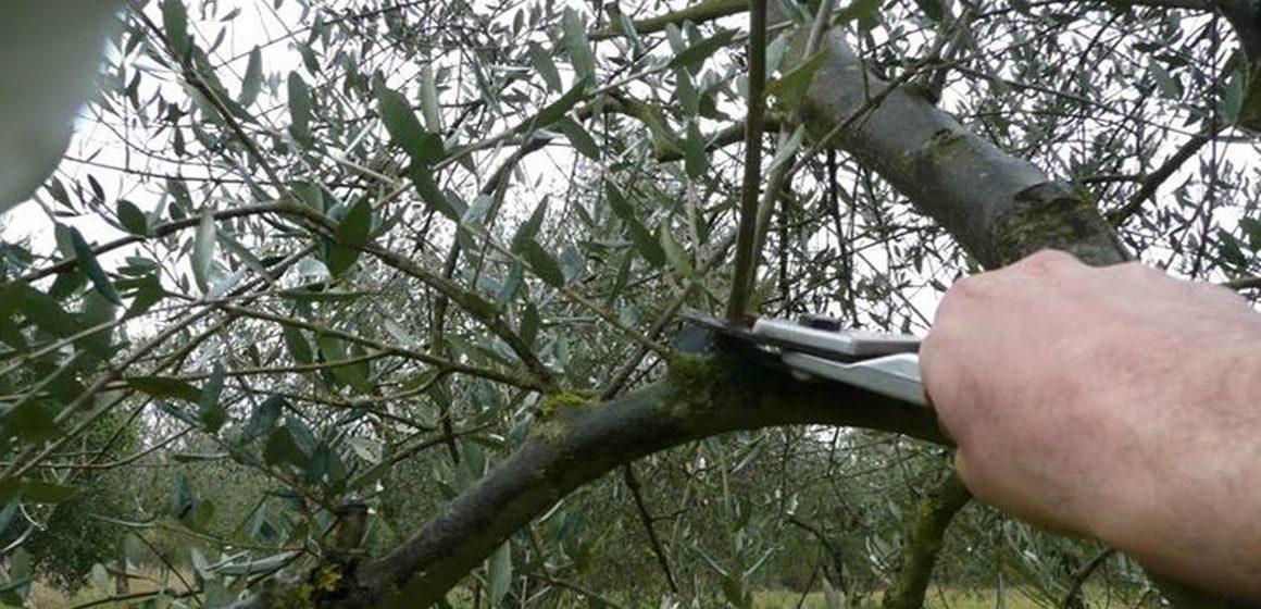 Tivoli, al via il corso di potatura dell'olivo