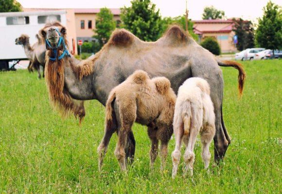 Lazio, gli agricoltori donano ai circhi 80mila chili di fieno e verdura per salvare gli animali