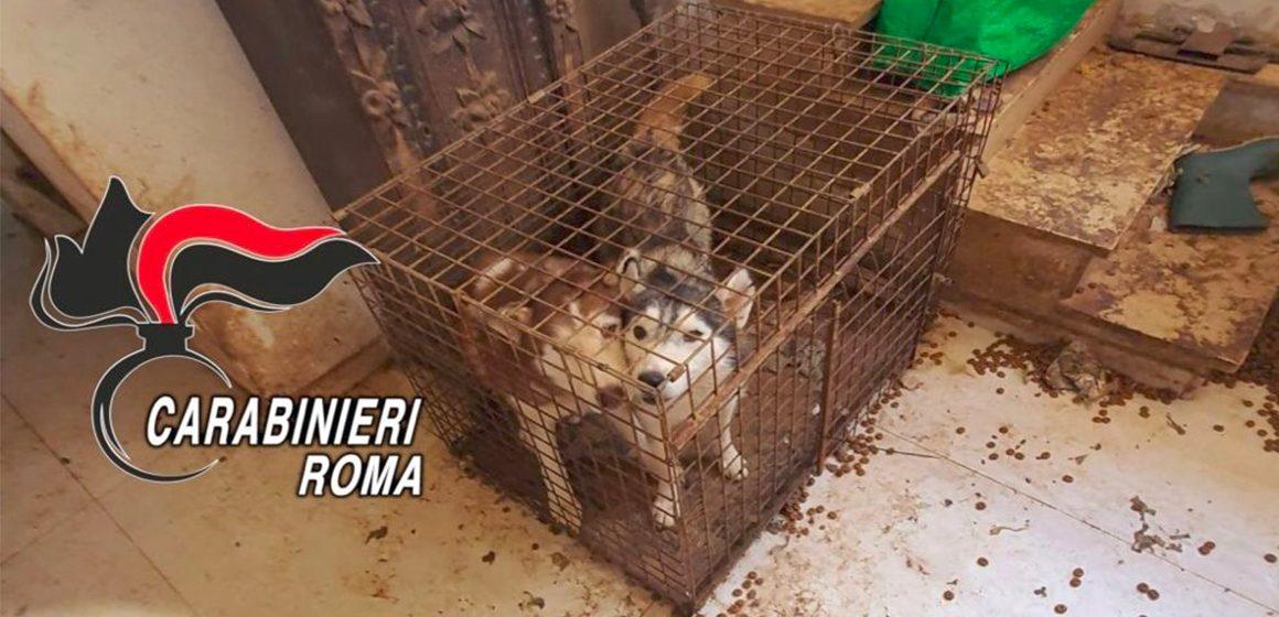 Ponzano Romano, allevamento lager di Husky: 110 cani salvati dai carabinieri
